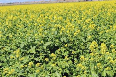 White mustard - siderat. White mustard as a fertilizer 99