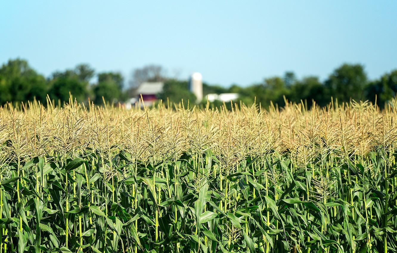 Где может расти пшеница